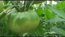 大島トマトとご対面!パート1